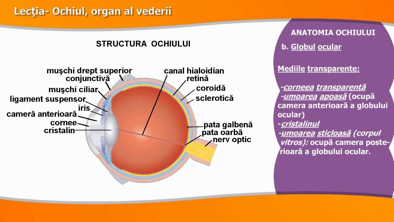 anatomia și fiziologia organului vizual)