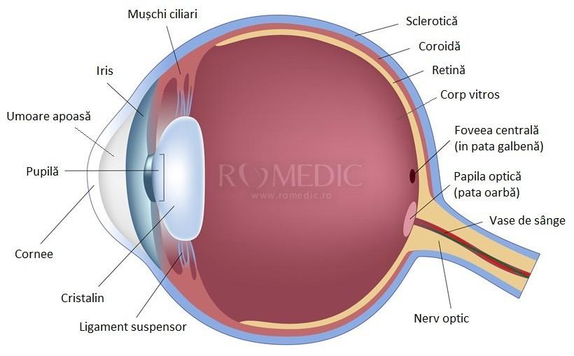 anatomia clinică a organului vizual