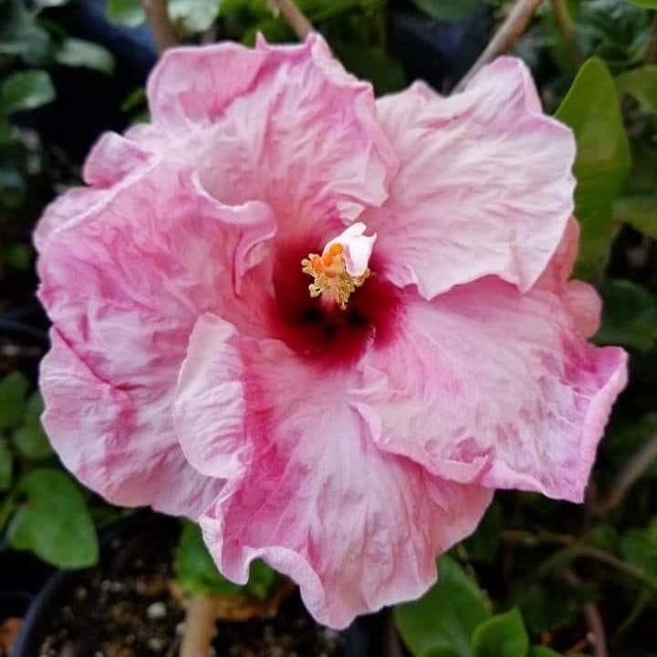 hibiscus pentru vedere)
