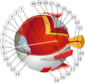 reprezentarea schematică a organului vederii)