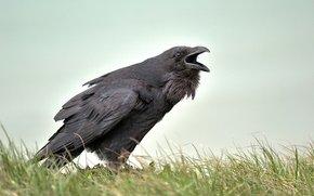 vedere corb)
